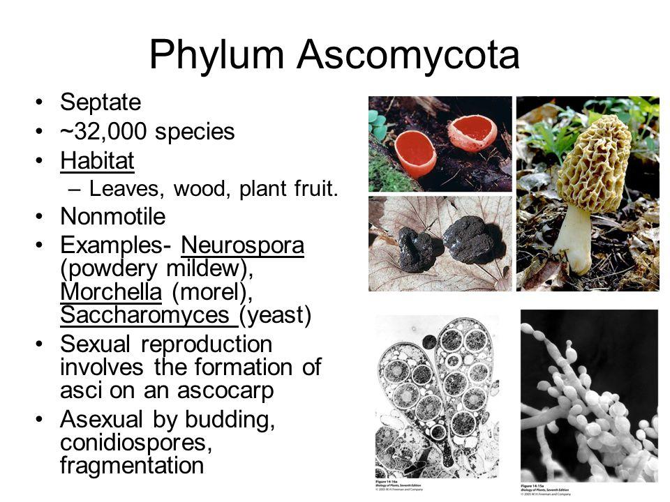 Phylum Ascomycota Septate ~32,000 species Habitat –Leaves, wood, plant fruit. Nonmotile Examples- Neurospora (powdery mildew), Morchella (morel), Sacc