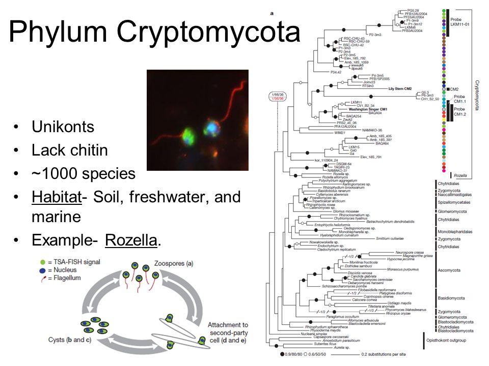 Unikonts Lack chitin ~1000 species Habitat- Soil, freshwater, and marine Example- Rozella. Phylum Cryptomycota