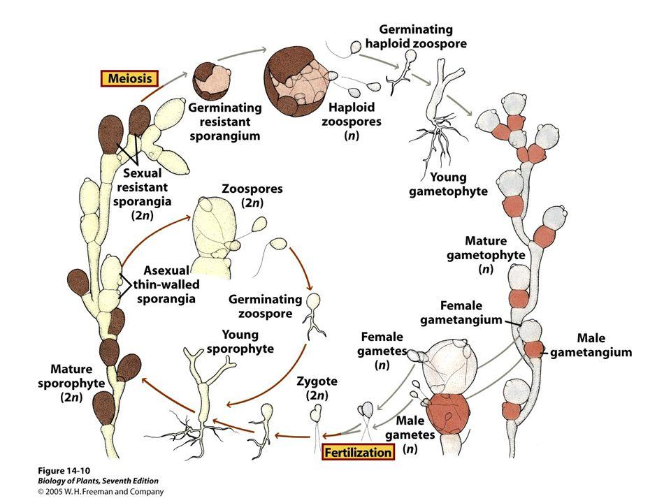 Phylum Microsporidia Spore forming unicellular animal parasites ~1500 species Lack mitochondria, golgi, and peroxisomes Reproduce by forming spores that shoot polar tubes into host cells Example- Microsporidium
