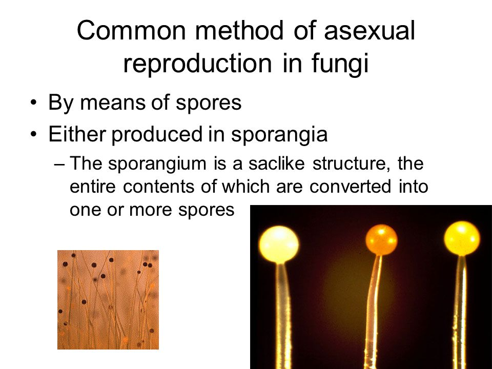 Common method of asexual reproduction in fungi By means of spores Either produced in sporangia –The sporangium is a saclike structure, the entire cont