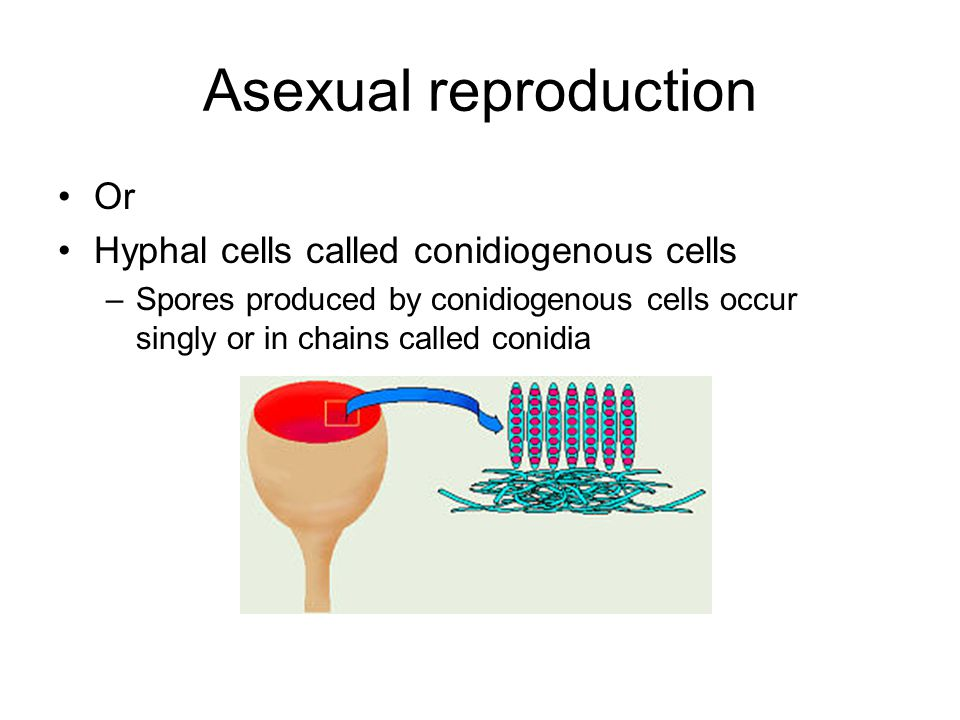 Asexual reproduction Or Hyphal cells called conidiogenous cells –Spores produced by conidiogenous cells occur singly or in chains called conidia
