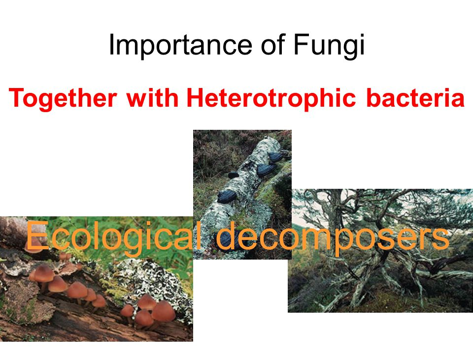 Importance of Fungi Together with Heterotrophic bacteria Ecological decomposers