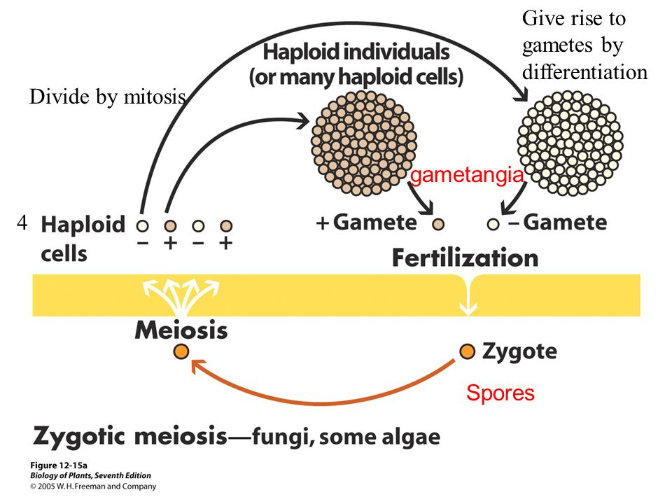 4 Divide by mitosis Give rise to gametes by differentiation gametangia Spores