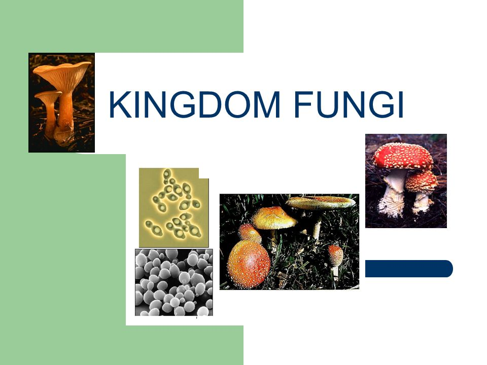 FUNGAL ASSOCIATIONS Fungi form symbiotic relationships with other organisms.