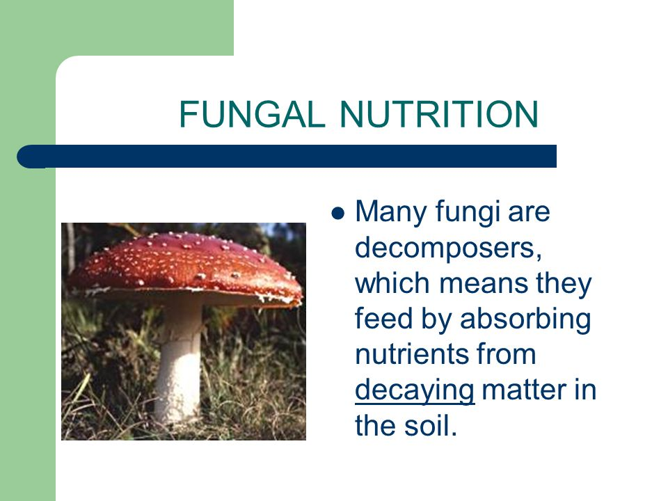FUNGAL NUTRITION Unlike animals, fungi do not ingest their food. Instead they secrete powerful digestive enzymes into their food & digest it outside o