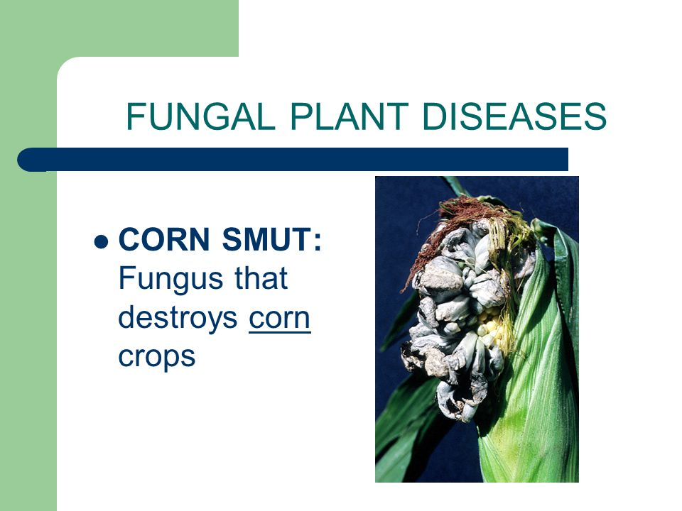 FUNGAL PLANT DISEASES WHEAT RUST: Caused by a club fungus that infects wheat crops