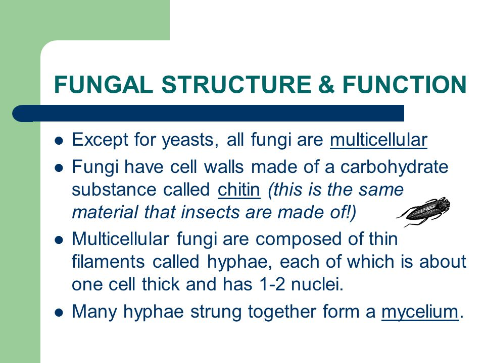 CHARACTERISTICS of FUNGI The Kingdom Fungi includes eukaryotic, sessile heterotrophs that include a wide variety of organisms from unicellular yeasts