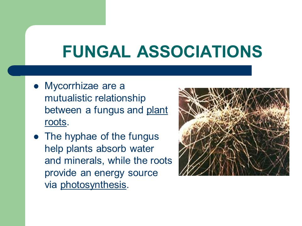 FUNGAL ASSOCIATIONS Lichens are a mutualistic relationship between a fungus & algae. They benefit each other because the algae is photosynthetic and p