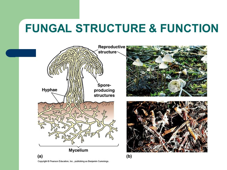 FUNGAL STRUCTURE & FUNCTION