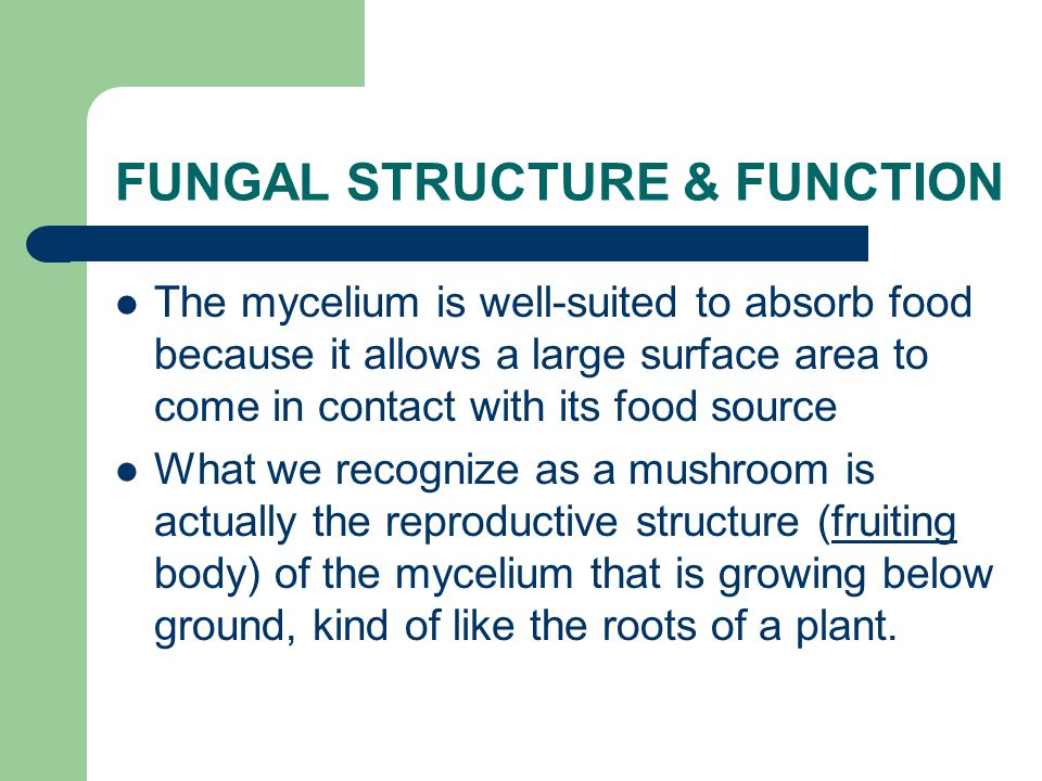 The mycelium is well-suited to absorb food because it allows a large surface area to come in contact with its food source What we recognize as a mushroom is actually the reproductive structure (fruiting body) of the mycelium that is growing below ground, kind of like the roots of a plant.