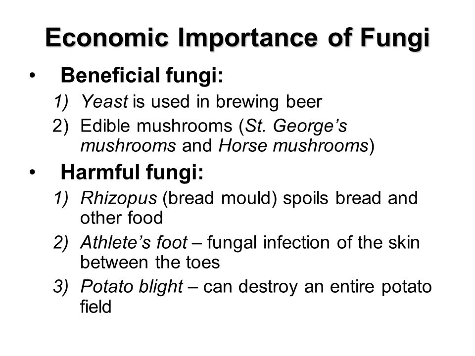 Economic Importance of Fungi Beneficial fungi: 1)Yeast is used in brewing beer 2)Edible mushrooms (St.