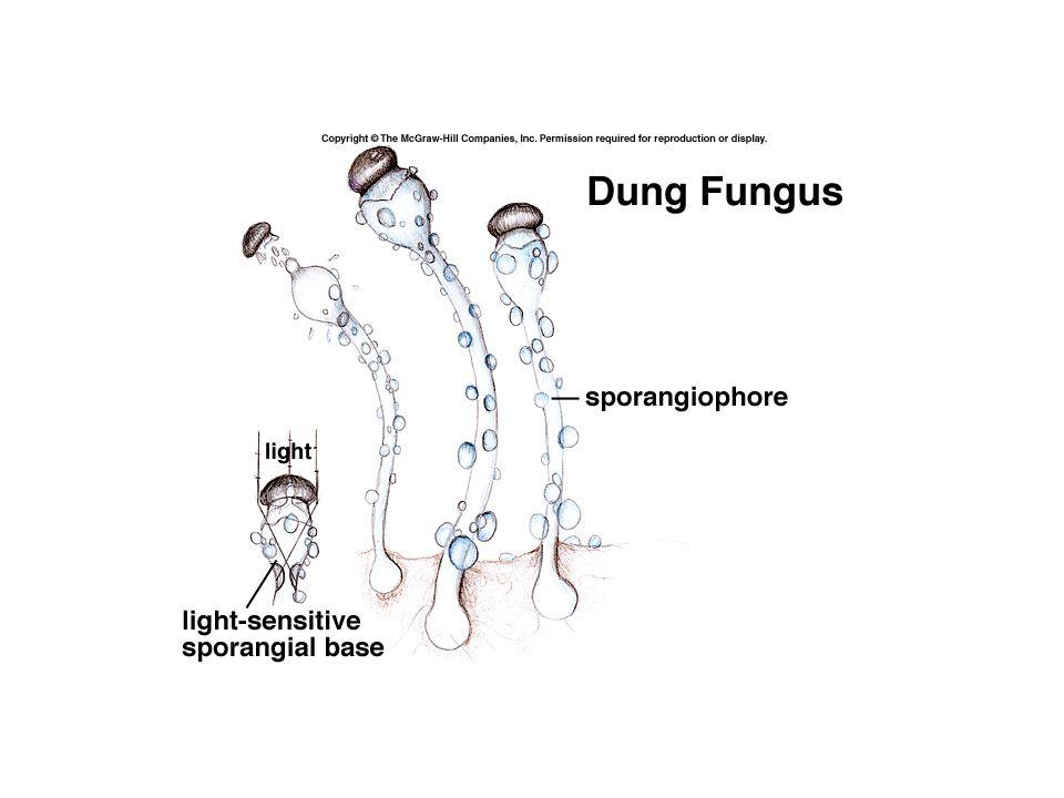 B.Division Eumycota—The Non Coenocytic True Fungi 1.