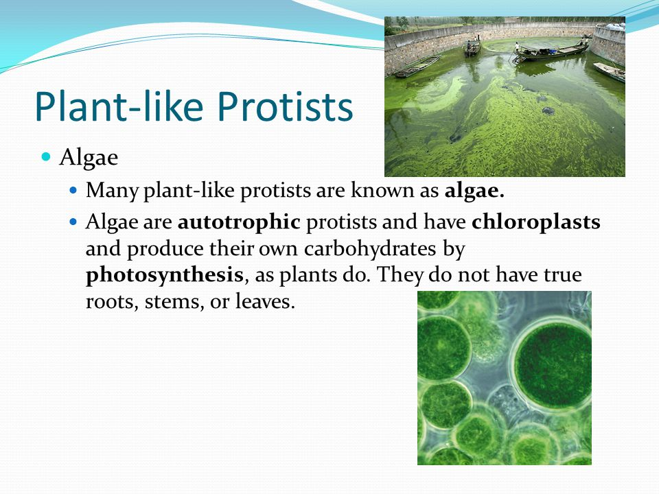 Plant-like Protists Algae Many plant-like protists are known as algae. Algae are autotrophic protists and have chloroplasts and produce their own carb