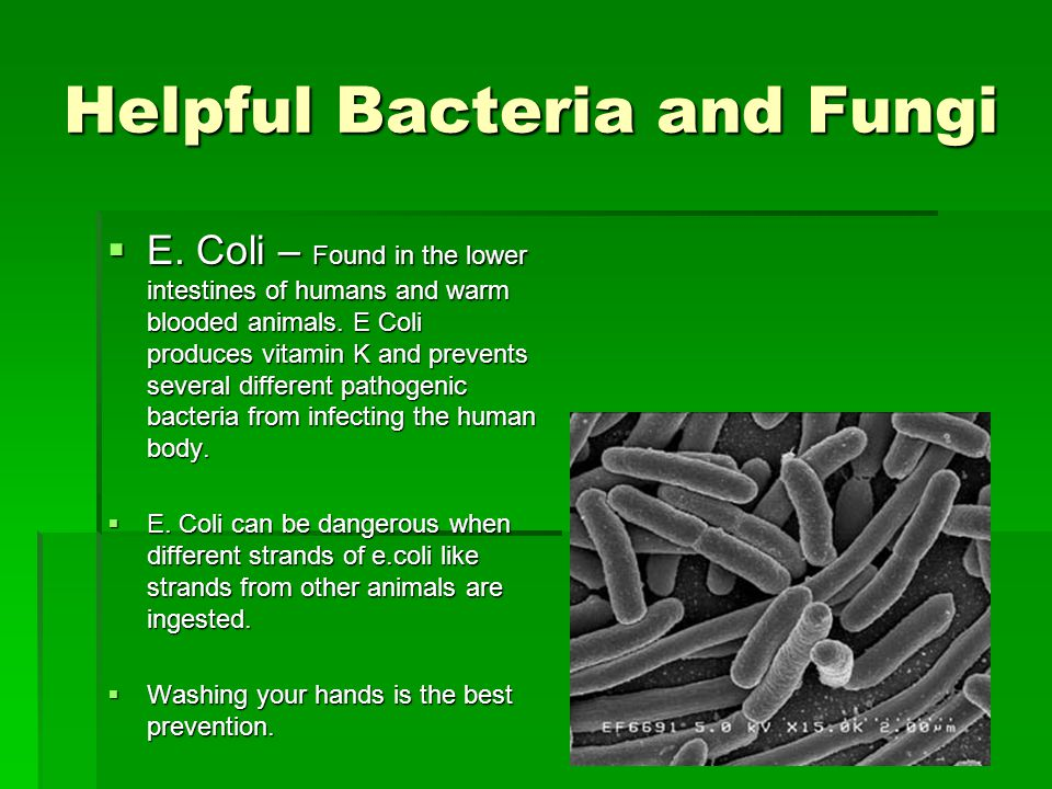 Helpful Bacteria and Fungi  E. Coli – Found in the lower intestines of humans and warm blooded animals. E Coli produces vitamin K and prevents severa