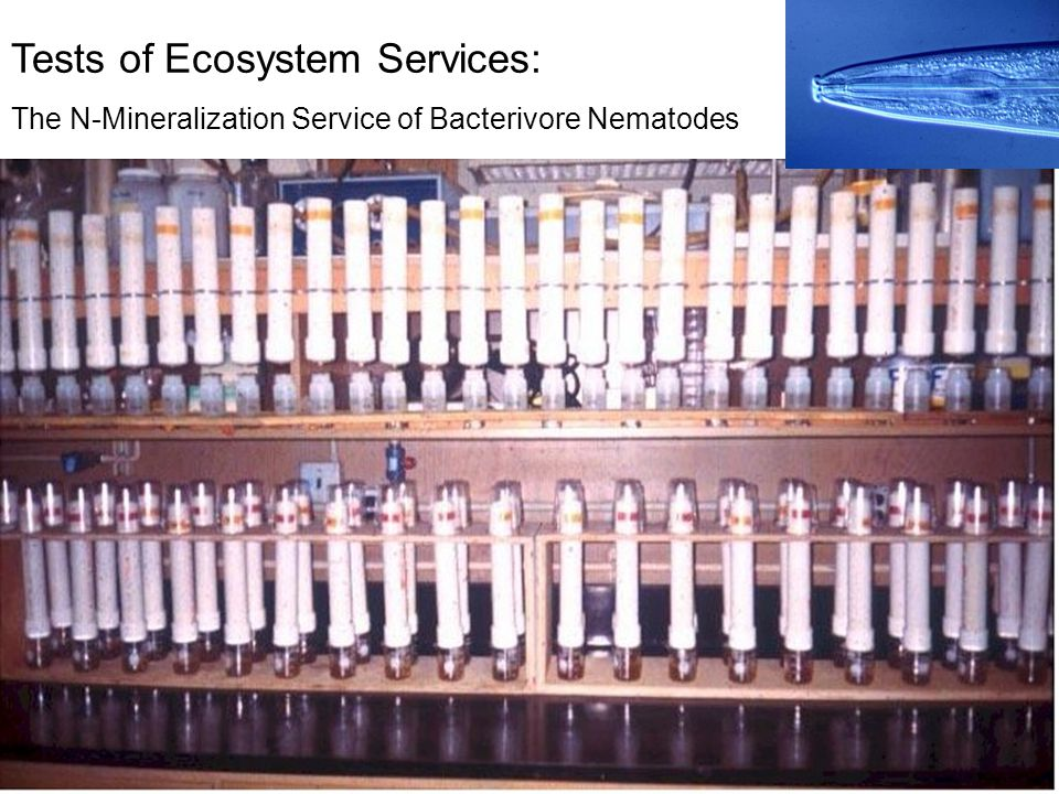 Tests of Ecosystem Services: The N-Mineralization Service of Bacterivore Nematodes