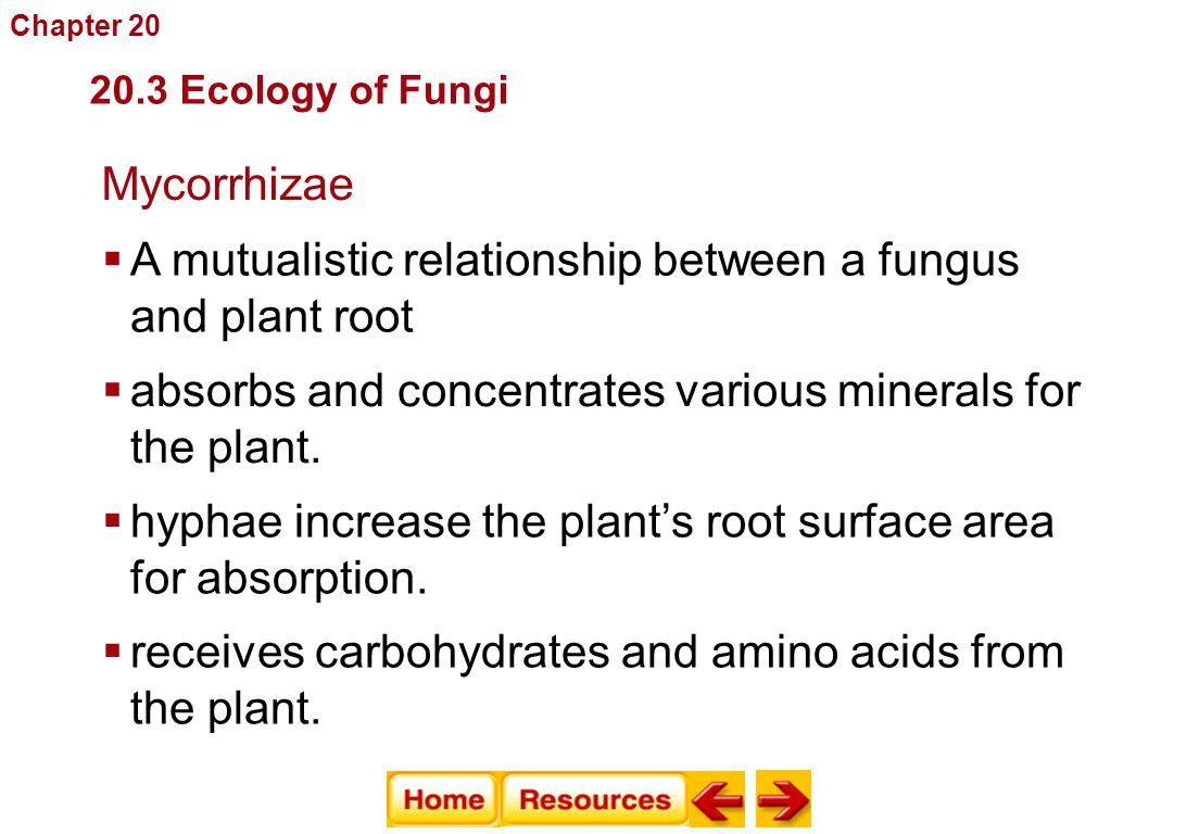 Mycorrhizae Fungi  A mutualistic relationship between a fungus and plant root  absorbs and concentrates various minerals for the plant.  hyphae inc