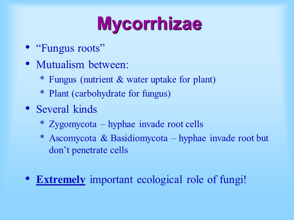 Mycorrhizae Fungus roots Mutualism between: *Fungus (nutrient & water uptake for plant) *Plant (carbohydrate for fungus) Several kinds *Zygomycota – hyphae invade root cells *Ascomycota & Basidiomycota – hyphae invade root but don't penetrate cells Extremely important ecological role of fungi!