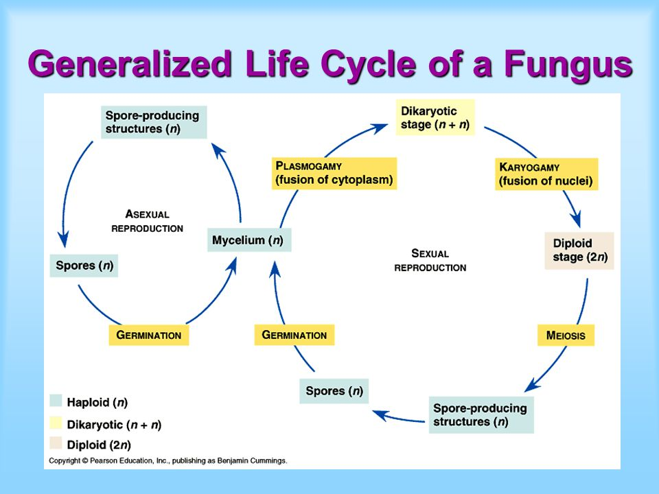 Generalized Life Cycle of a Fungus