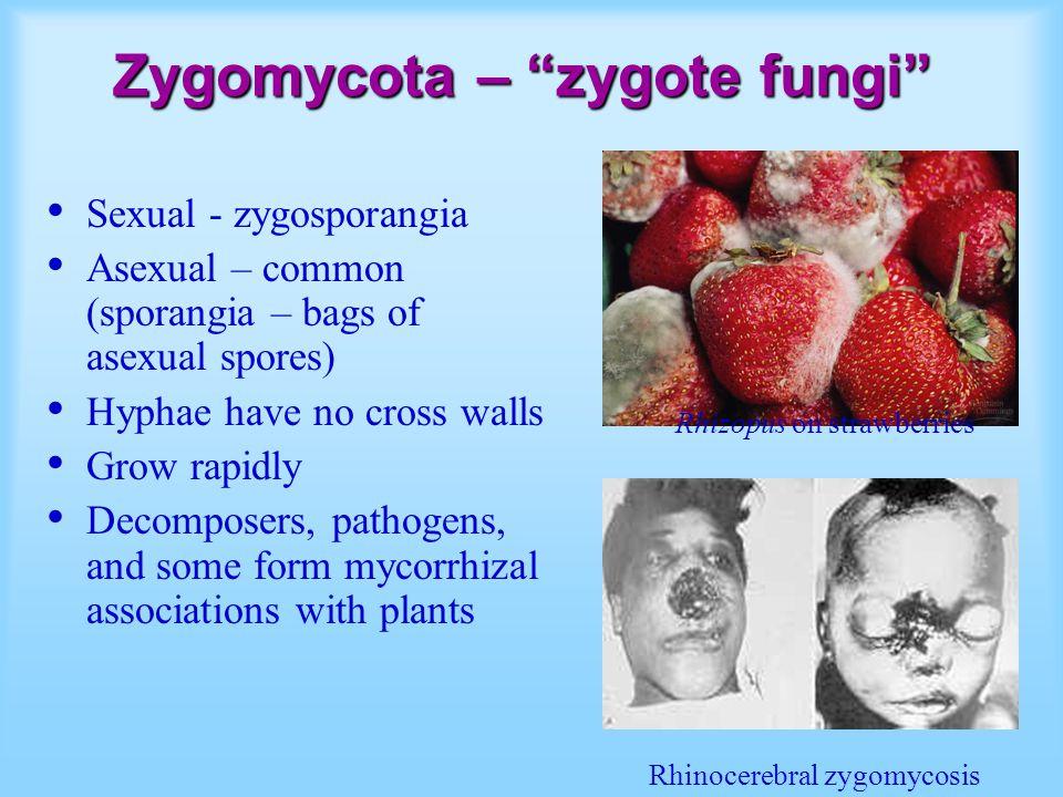 Zygomycota – zygote fungi Sexual - zygosporangia Asexual – common (sporangia – bags of asexual spores) Hyphae have no cross walls Grow rapidly Decomposers, pathogens, and some form mycorrhizal associations with plants Rhizopus on strawberries Rhinocerebral zygomycosis