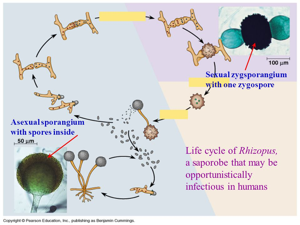 Life cycle of Rhizopus, a saporobe that may be opportunistically infectious in humans Asexual sporangium with spores inside Sexual zygsporangium with one zygospore
