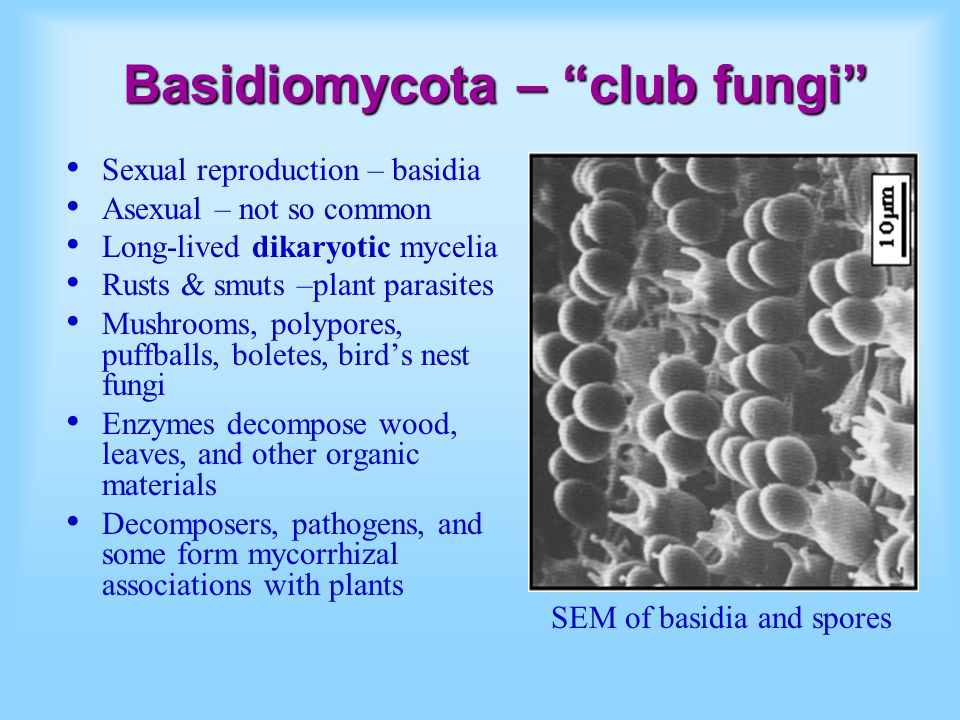 Basidiomycota – club fungi Sexual reproduction – basidia Asexual – not so common Long-lived dikaryotic mycelia Rusts & smuts –plant parasites Mushrooms, polypores, puffballs, boletes, bird's nest fungi Enzymes decompose wood, leaves, and other organic materials Decomposers, pathogens, and some form mycorrhizal associations with plants SEM of basidia and spores