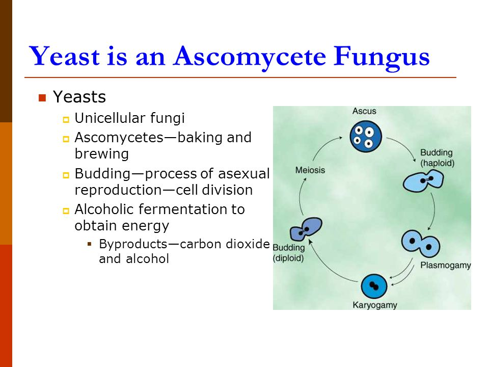 Yeasts  Unicellular fungi  Ascomycetes—baking and brewing  Budding—process of asexual reproduction—cell division  Alcoholic fermentation to obtain energy  Byproducts—carbon dioxide and alcohol Yeast is an Ascomycete Fungus