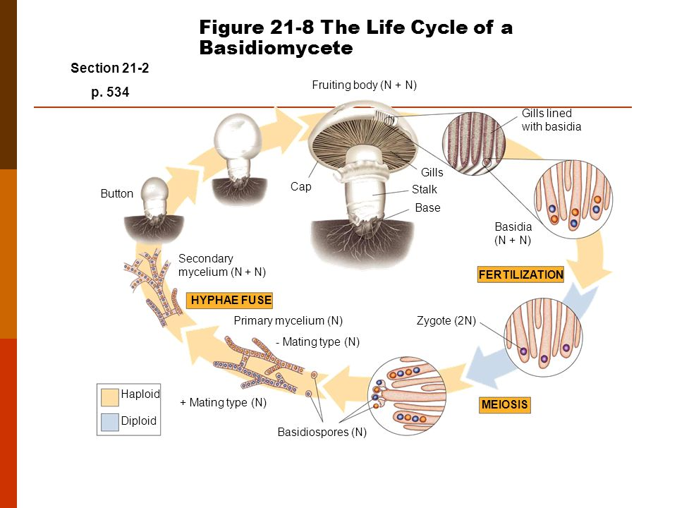 FERTILIZATION MEIOSIS HYPHAE FUSE Fruiting body (N + N) Button Secondary mycelium (N + N) Primary mycelium (N) + Mating type (N) - Mating type (N) Basidiospores (N) Zygote (2N) Basidia (N + N) Gills lined with basidia Gills Stalk Base Cap Haploid Diploid Section 21-2 p.