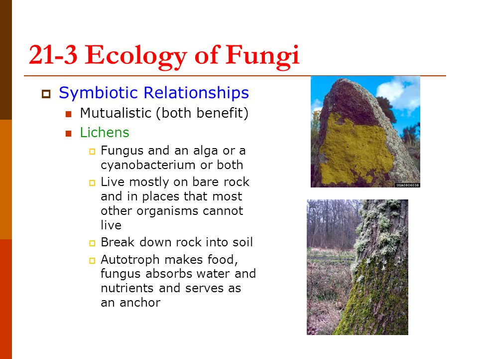  Symbiotic Relationships Mutualistic (both benefit) Lichens  Fungus and an alga or a cyanobacterium or both  Live mostly on bare rock and in places that most other organisms cannot live  Break down rock into soil  Autotroph makes food, fungus absorbs water and nutrients and serves as an anchor 21-3 Ecology of Fungi