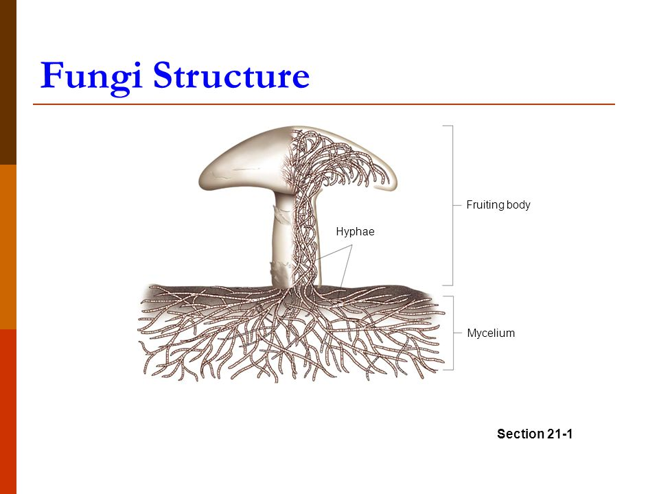 Mycelium Fruiting body Hyphae Section 21-1 Fungi Structure