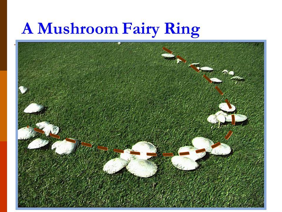 A Mushroom Fairy Ring
