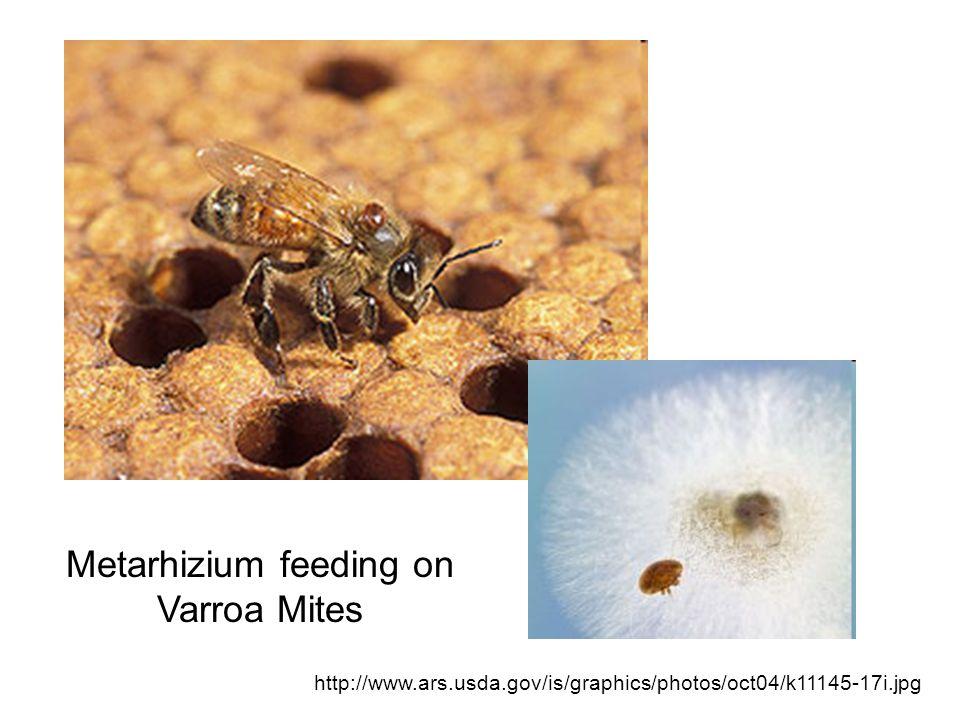 http://www.ars.usda.gov/is/graphics/photos/oct04/k11145-17i.jpg Metarhizium feeding on Varroa Mites