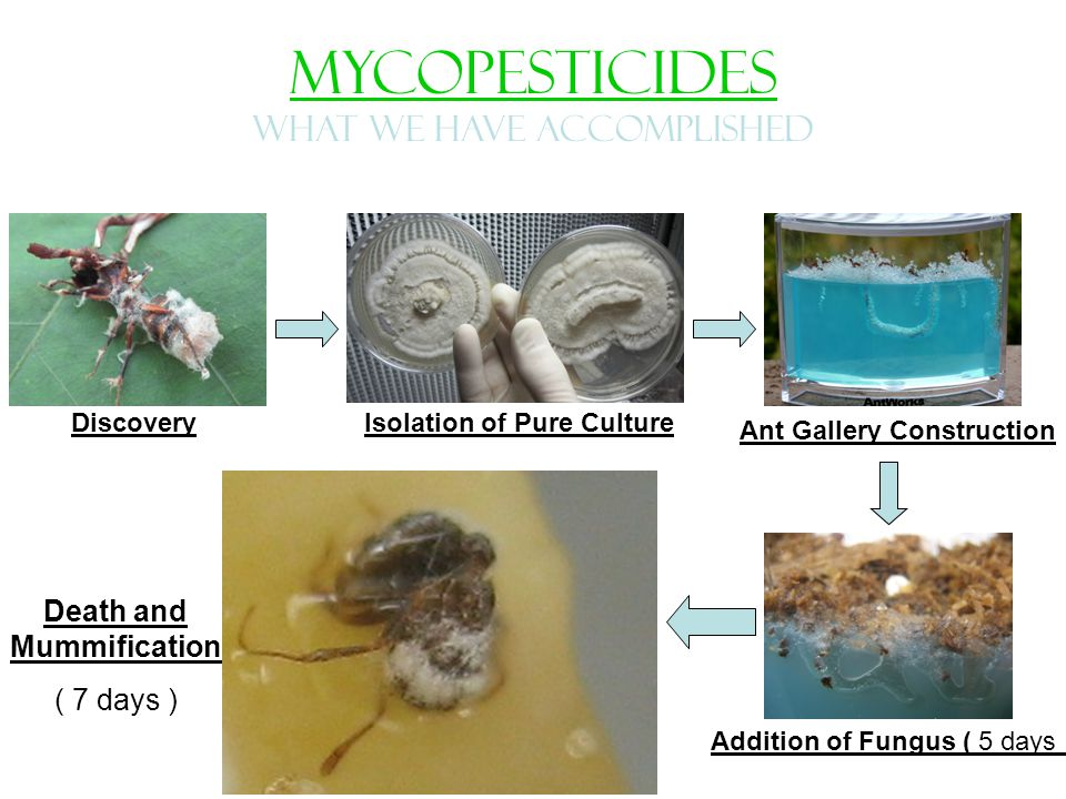 MYCOPESTICIDES WHAT WE HAVE ACCOMPLISHED Isolation of Pure Culture Death and Mummification ( 7 days ) Discovery Ant Gallery Construction Addition of Fungus ( 5 days )