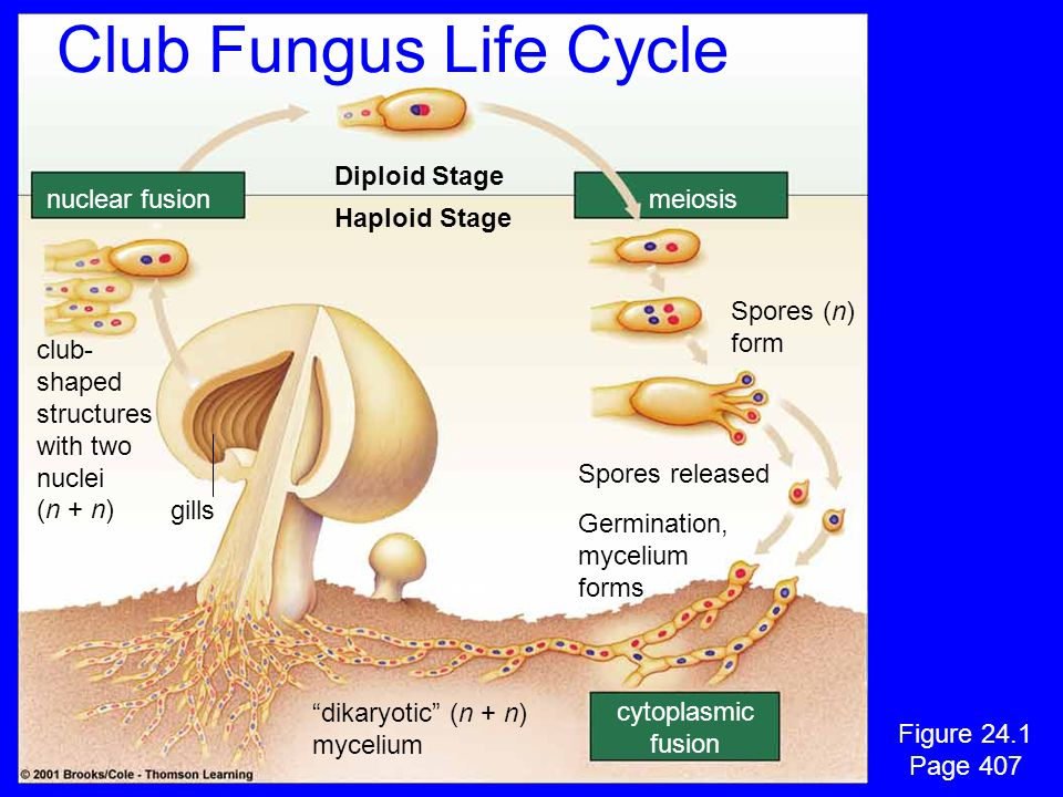 """nuclear fusionmeiosis cytoplasmic fusion Diploid Stage Haploid Stage club- shaped structures with two nuclei (n + n) gills """"dikaryotic"""" (n + n) myceli"""