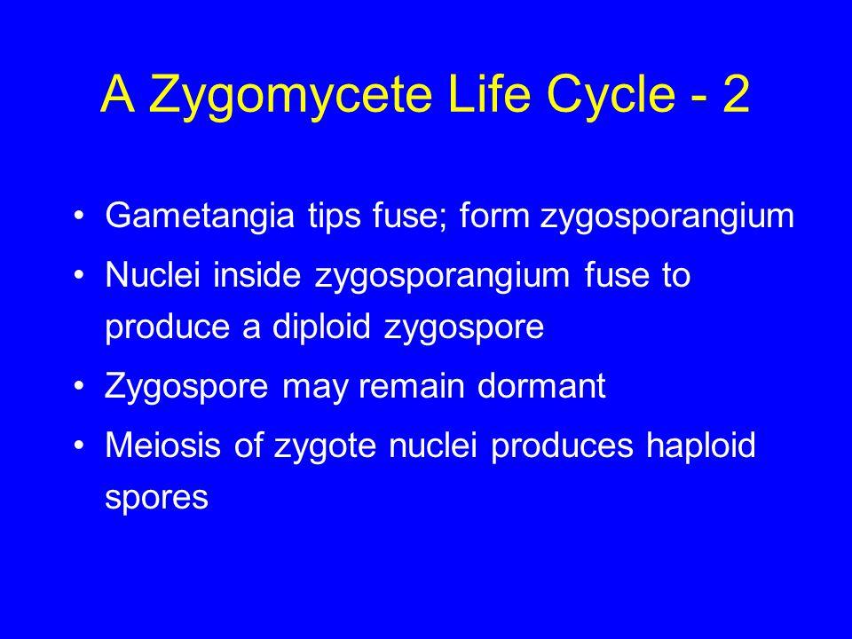 A Zygomycete Life Cycle - 2 Gametangia tips fuse; form zygosporangium Nuclei inside zygosporangium fuse to produce a diploid zygospore Zygospore may r