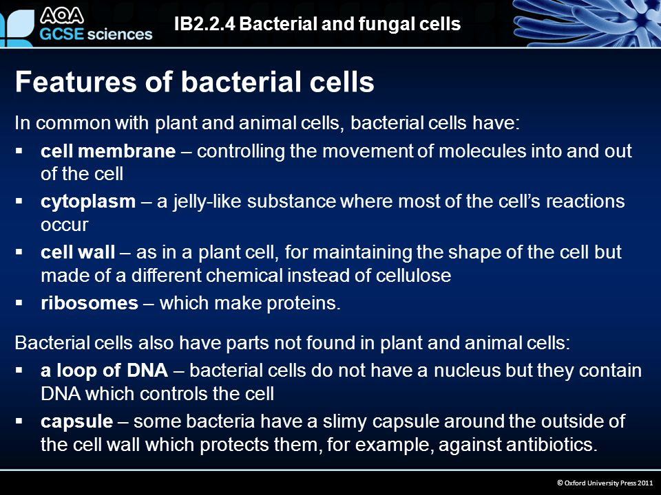 IB2.2.4 Bacterial and fungal cells © Oxford University Press 2011 In common with plant and animal cells, bacterial cells have:  cell membrane – controlling the movement of molecules into and out of the cell  cytoplasm – a jelly-like substance where most of the cell's reactions occur  cell wall – as in a plant cell, for maintaining the shape of the cell but made of a different chemical instead of cellulose  ribosomes – which make proteins.