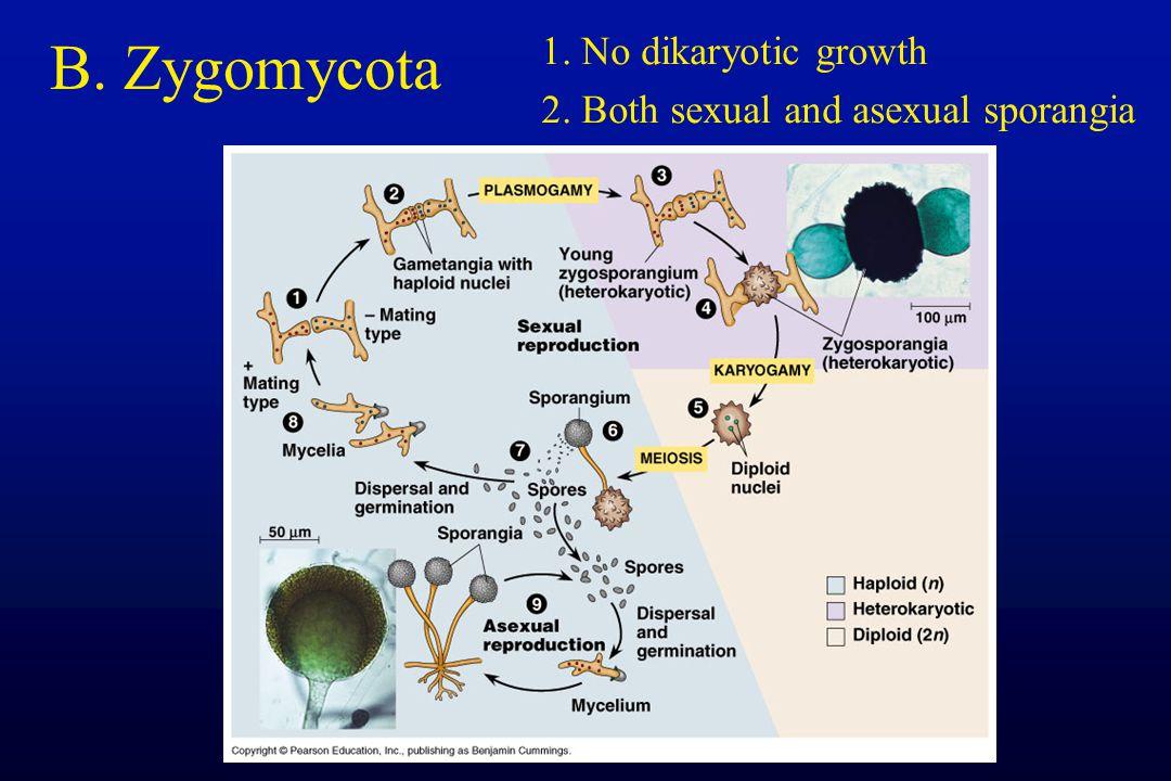 B. Zygomycota 1. No dikaryotic growth 2. Both sexual and asexual sporangia