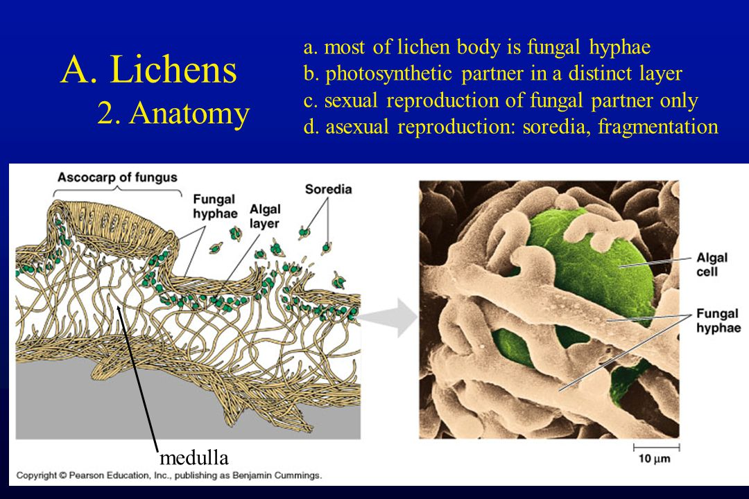 A. Lichens 2. Anatomy medulla a. most of lichen body is fungal hyphae b. photosynthetic partner in a distinct layer c. sexual reproduction of fungal p