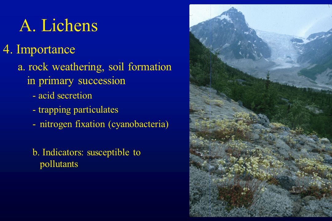 A. Lichens 4. Importance a. rock weathering, soil formation in primary succession - acid secretion - trapping particulates -nitrogen fixation (cyanoba