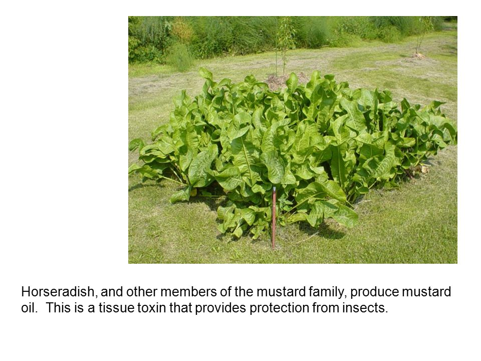 Horseradish, and other members of the mustard family, produce mustard oil. This is a tissue toxin that provides protection from insects.
