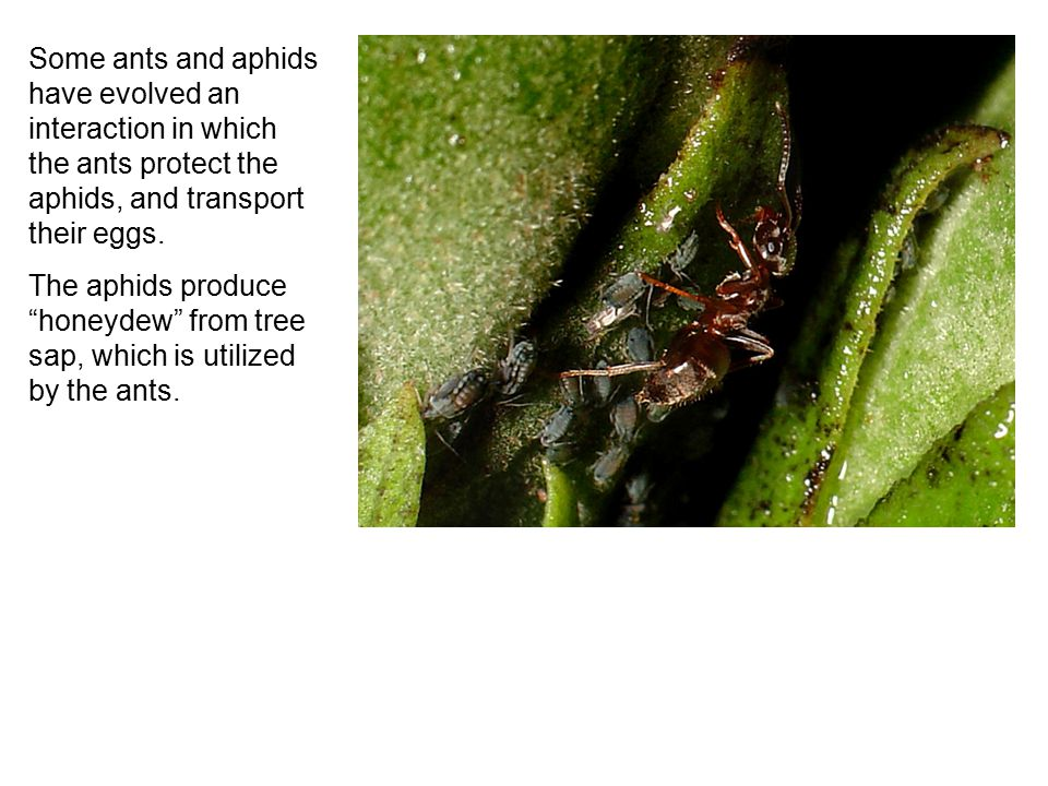 "Some ants and aphids have evolved an interaction in which the ants protect the aphids, and transport their eggs. The aphids produce ""honeydew"" from tr"