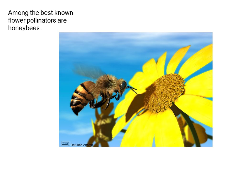 Among the best known flower pollinators are honeybees.