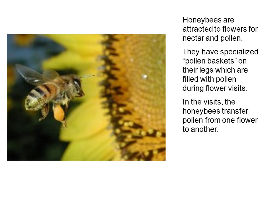 Honeybees are attracted to flowers for nectar and pollen.