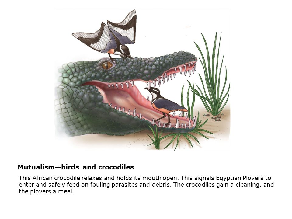 Mutualism—birds and crocodiles  This African crocodile relaxes and holds its mouth open.
