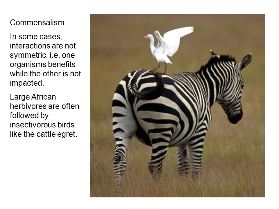 Commensalism In some cases, interactions are not symmetric, i.e. one organisms benefits while the other is not impacted. Large African herbivores are