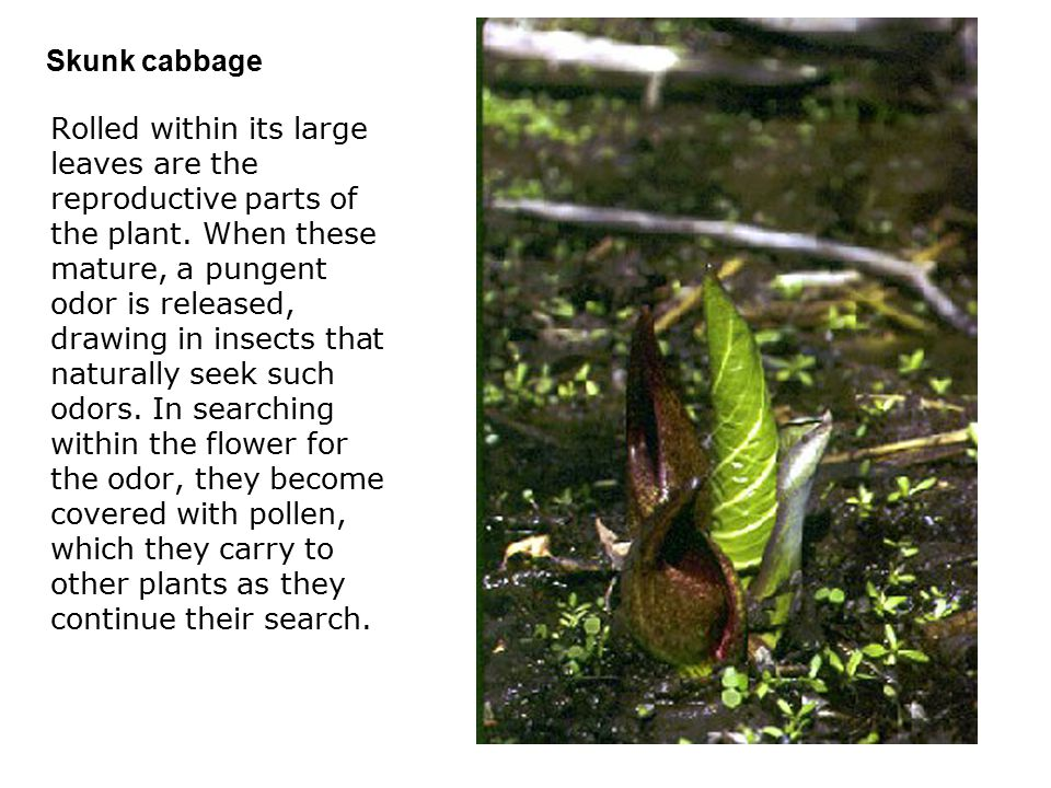 Skunk cabbage  Rolled within its large leaves are the reproductive parts of the plant.