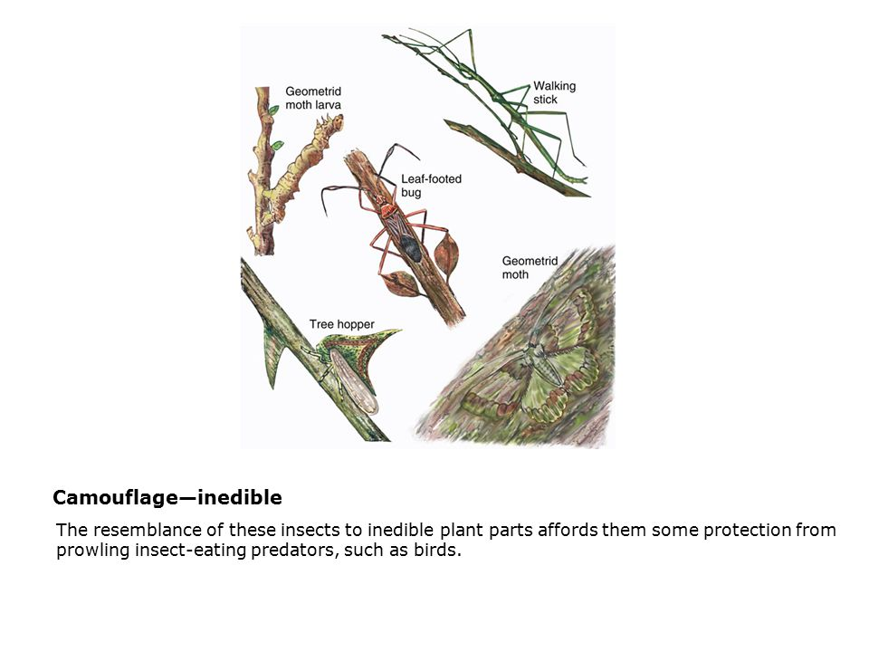 Camouflage—inedible  The resemblance of these insects to inedible plant parts affords them some protection from prowling insect-eating predators, such as birds.