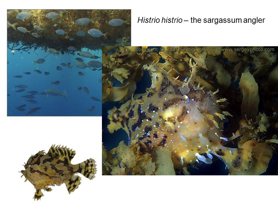 Histrio histrio – the sargassum angler