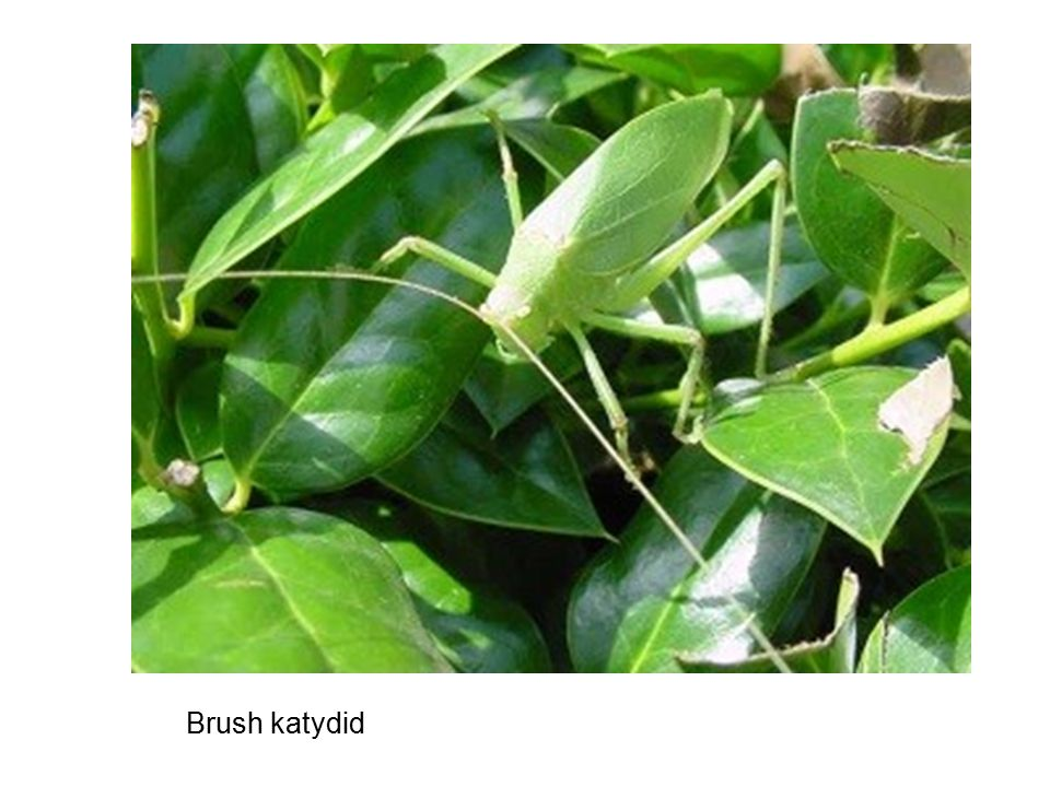 Brush katydid