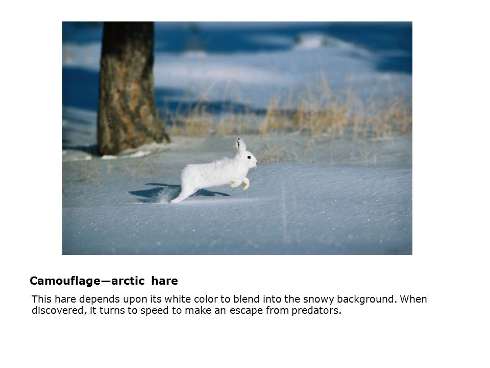 Camouflage—arctic hare  This hare depends upon its white color to blend into the snowy background. When discovered, it turns to speed to make an esca