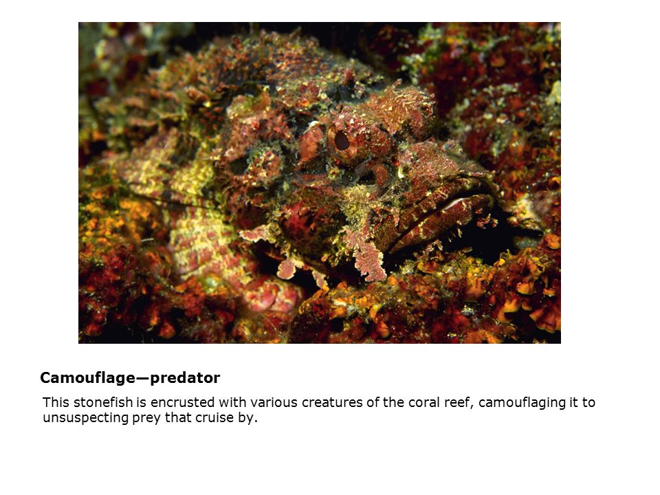 Camouflage—predator  This stonefish is encrusted with various creatures of the coral reef, camouflaging it to unsuspecting prey that cruise by.